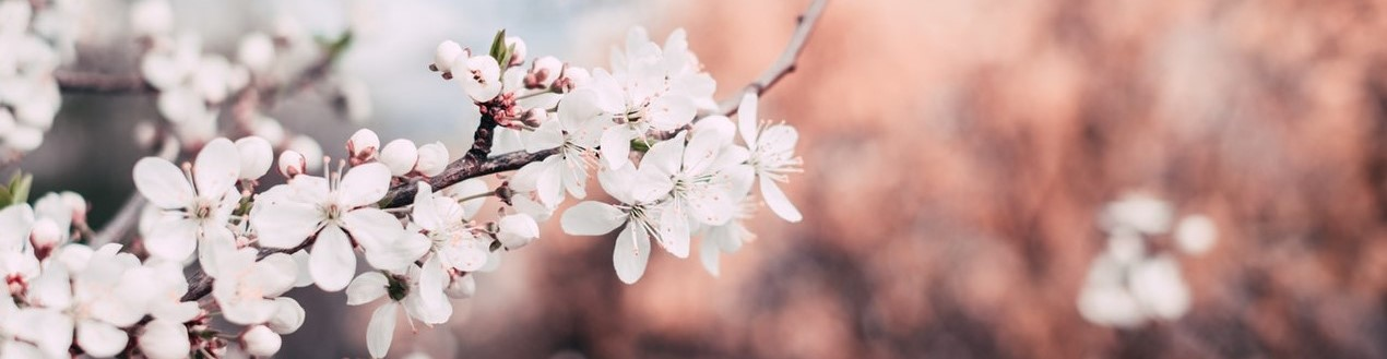 apple-blooming-blossom-1002785 - Copie - Copie